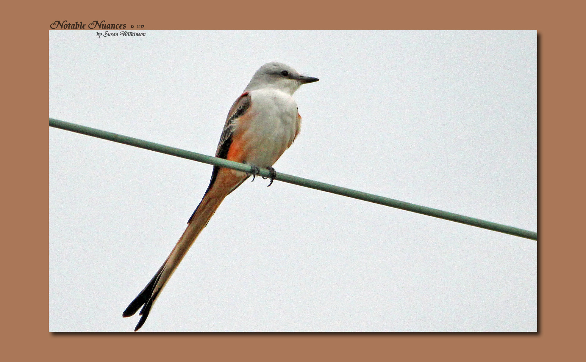 ... January 20, 2013 at 1969 × 1218 in Scissor-tailed Flycatcher