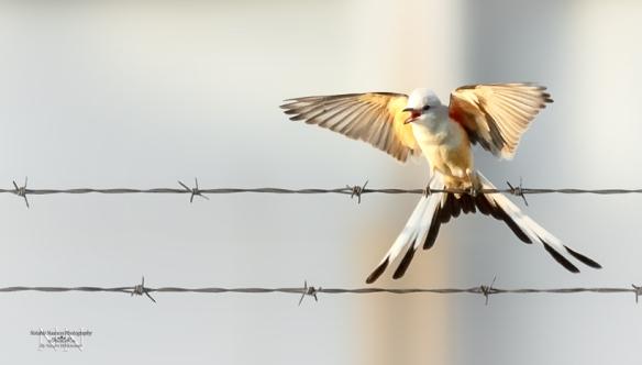 Scissor-tailed-Flycatcher-2_logo