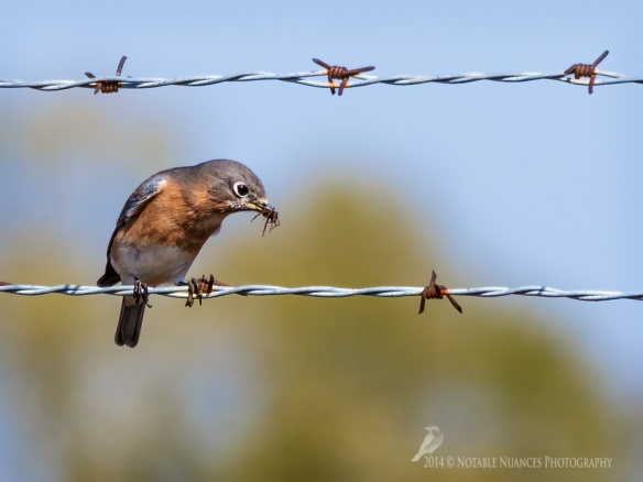 Eastern Bluebird and spider_logo